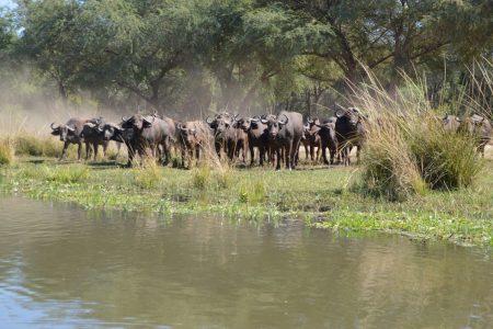 buffalo herd Lower Zambezi