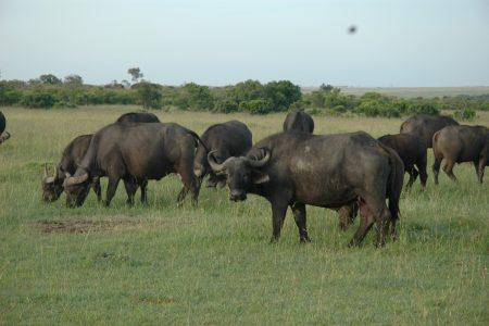 Buffalo - Maasai Mara