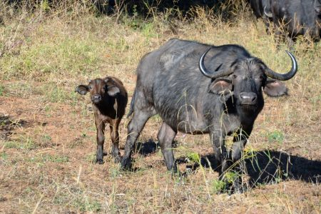 Buffalo mother and calf Chobe Floodplain