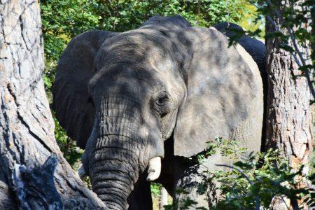 Bull elephant Hwange National Park