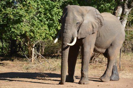 Bull elephant Lower Zambezi