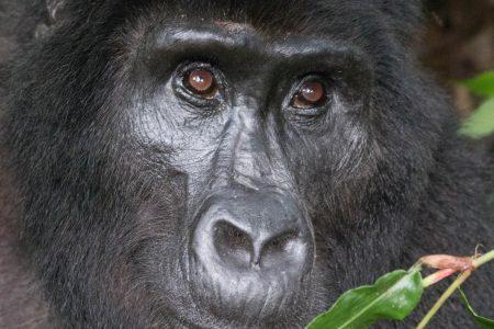 Bwindi gorilla face