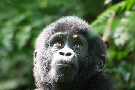 Bwindi young gorilla 1