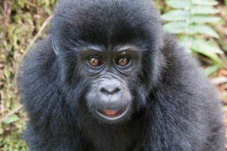 Bwindi young gorilla 2