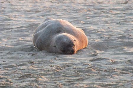 Cape fur seal at Walvis Bay