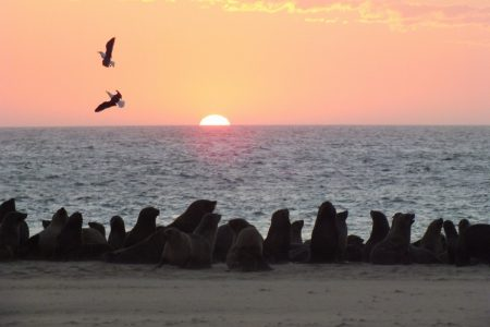 Cape fur seals at Walvis Bay