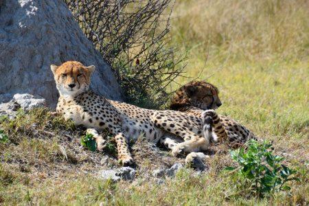 Cheetah brothers Savuti