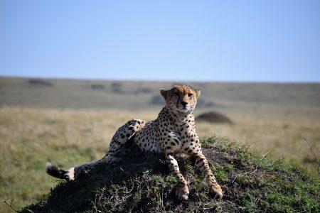 Cheetah on hillock Maasai Mara