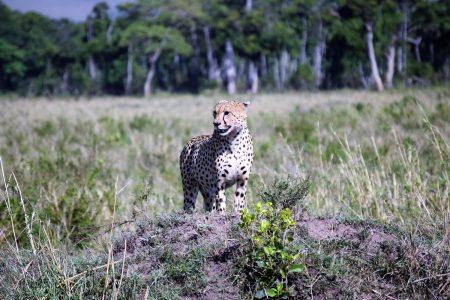 Cheetah on lookout Maasai Mara