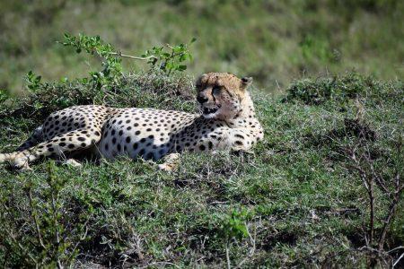 Cheetah resting Maasai Mara