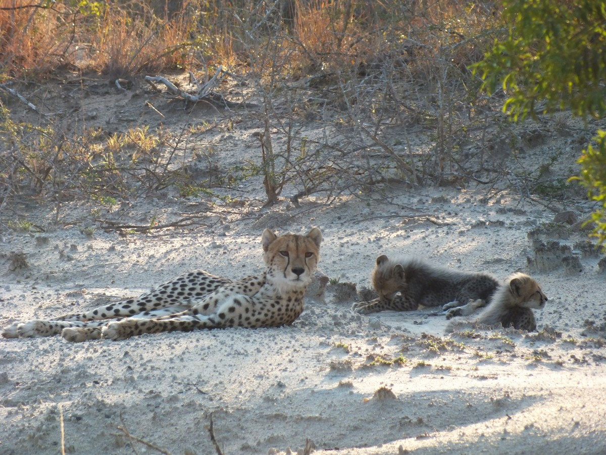 Cheetah with cubs Limpopo
