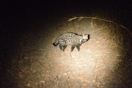 Civet South Luangwa