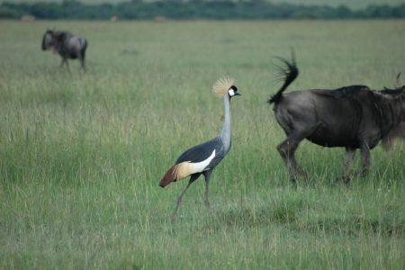 Crowned Crane - Maasai Mara