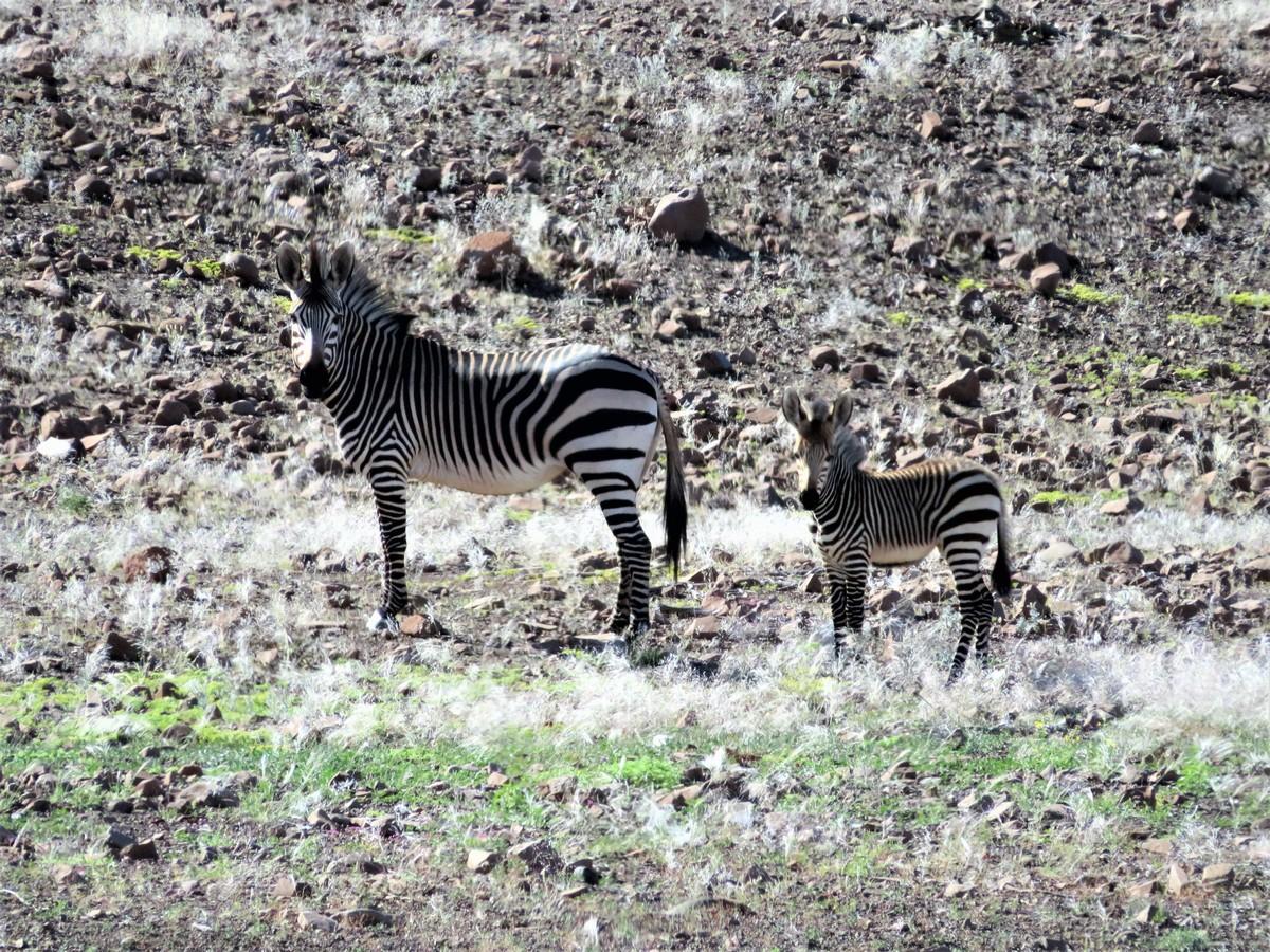 Mountain Zebra in Damaraland