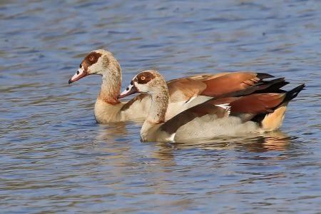 Ducks at Timbavati
