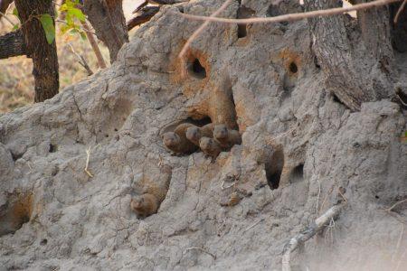 dwarf mongoose family Hwange