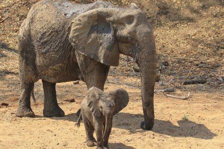 Elephant and baby Timbavati