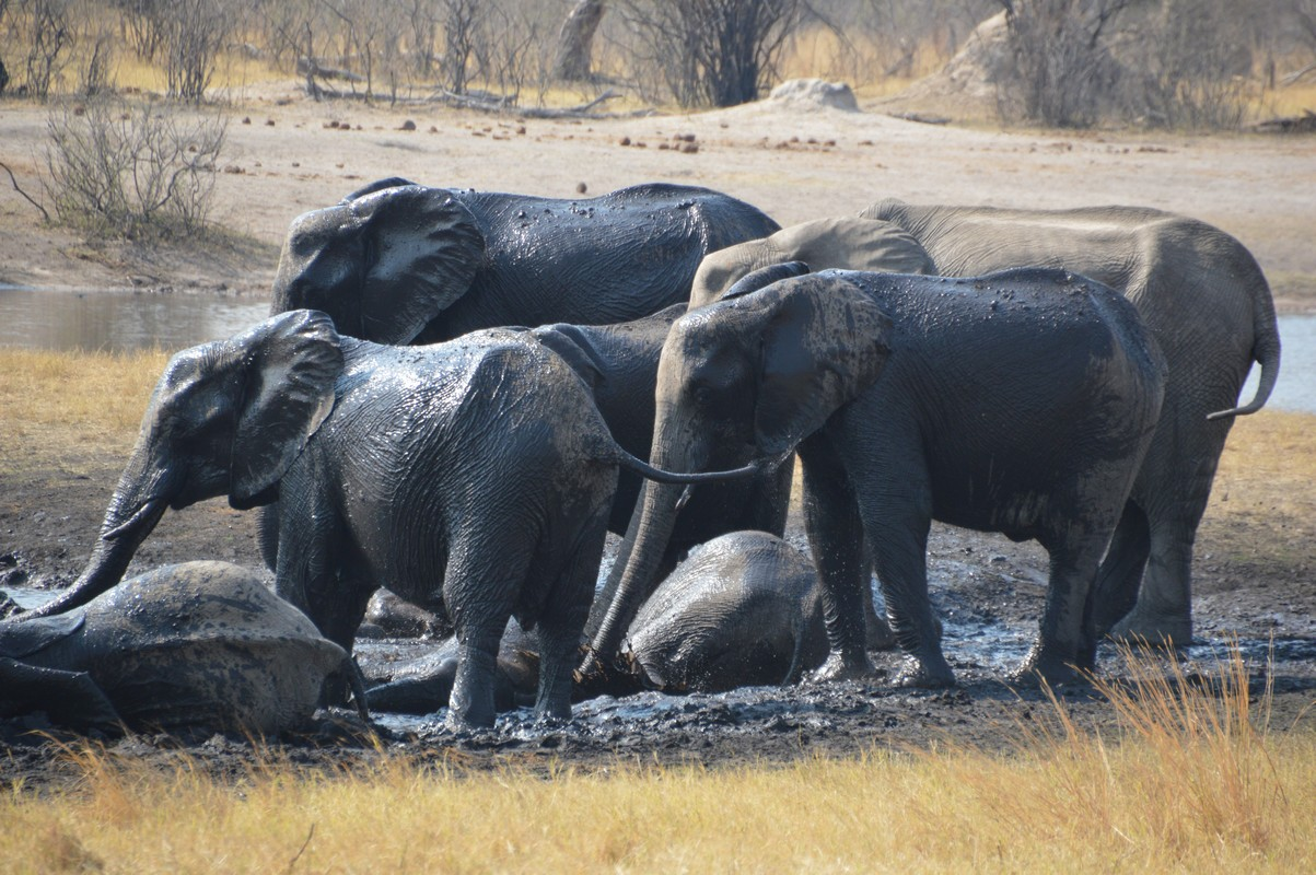 elephant at the mud-wallow Hwange