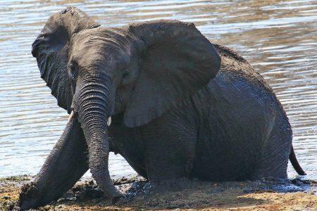 Elephant bathing Timbavati