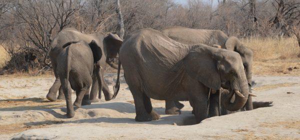 Safari Club - elephant digging for salt Hwange