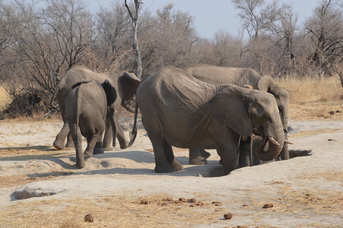 elephant digging for salt Hwange