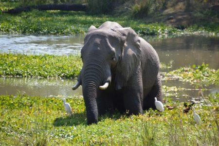 Elephant dip in the Zambezi