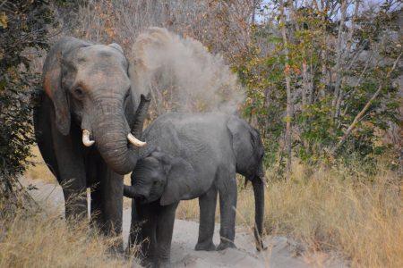 elephant dust bath Hwange