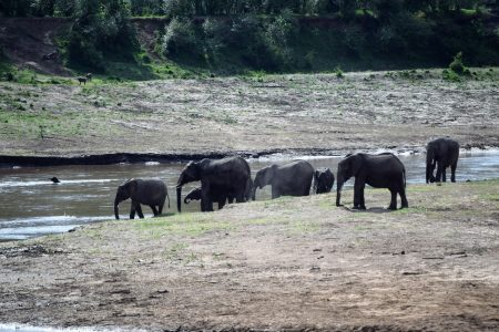 Elephant herd at water hole Maasai Mara