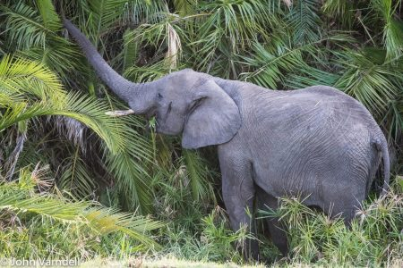 Elephant in Manyara