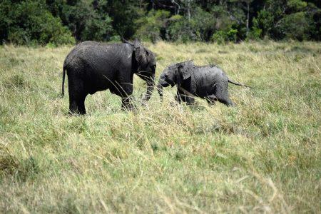 Elephant siblings Maasai Mara