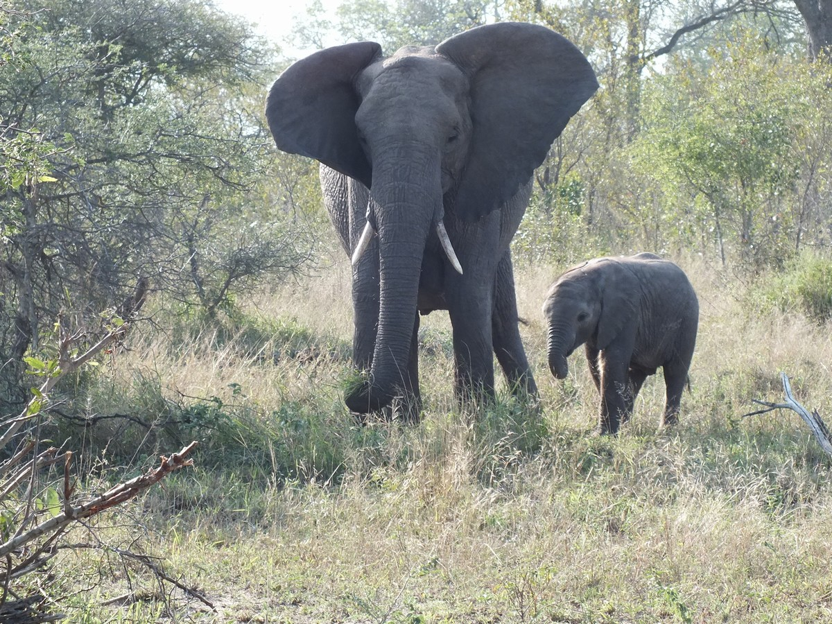 Elephant with calf Limpopo