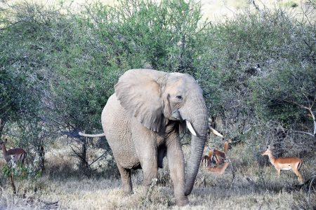 Elephant with impala Laikipia Plateau