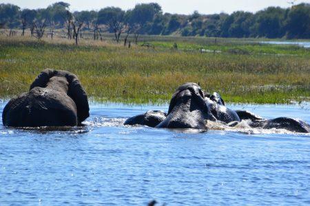 Elephants bathing Boteti River