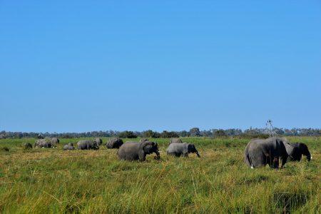 Elephants family Gomoti Plains