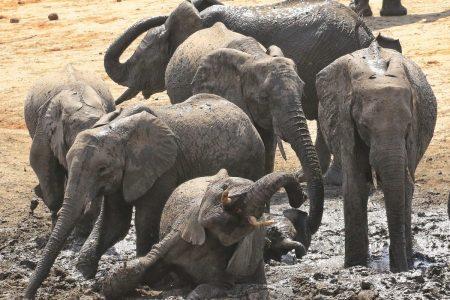 Elephants in mud Timbavati