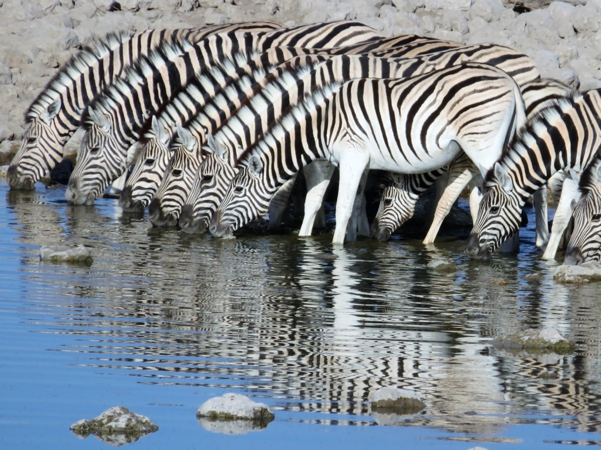 Burchells Zebra Etosha National Park