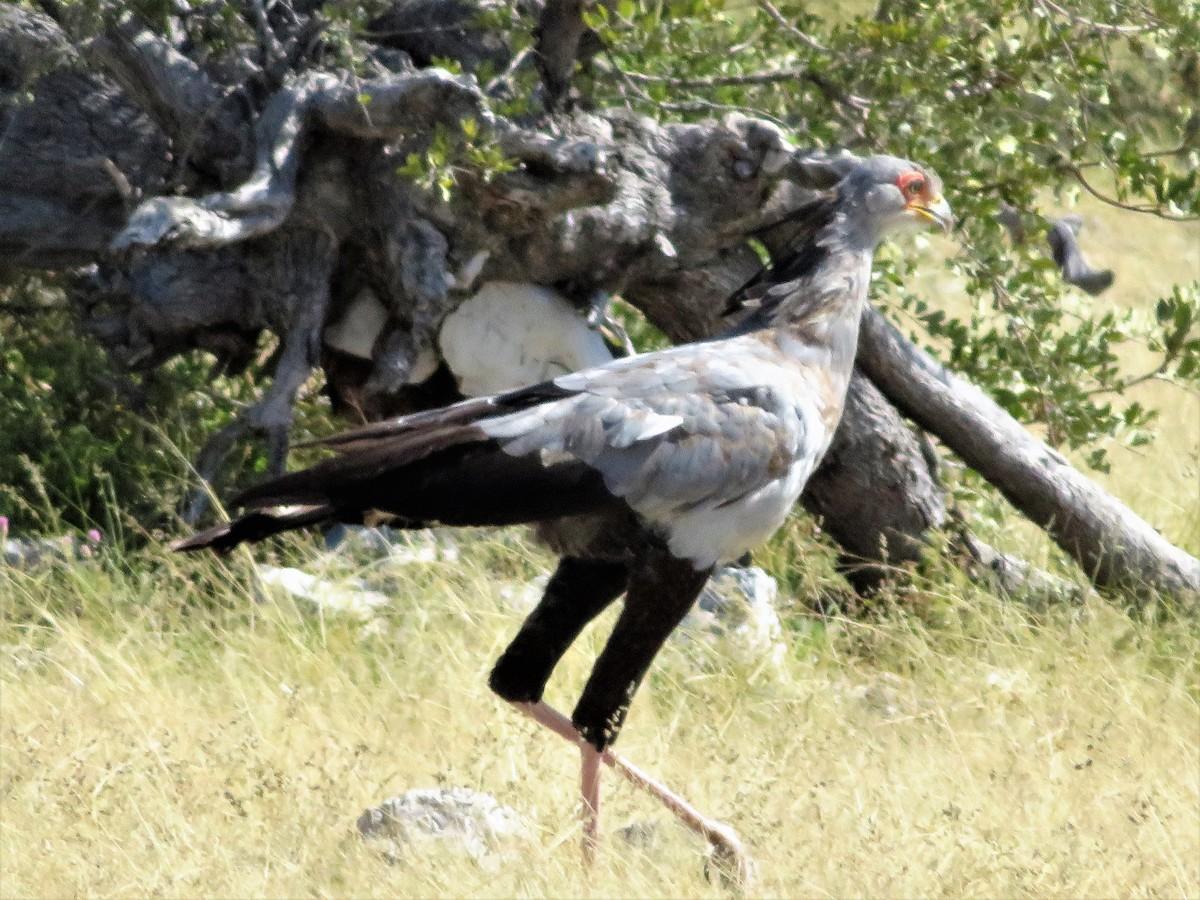Secretary Bird in Etosha