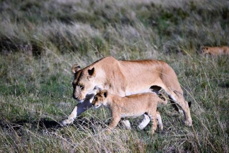 Female lion with cub Maasai Mara