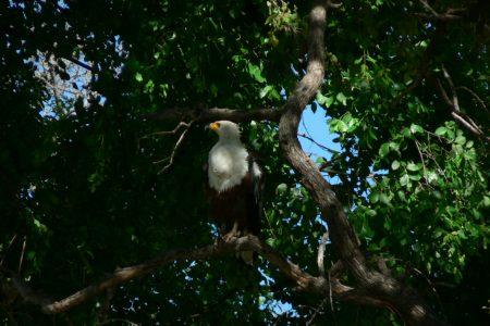 Fish Eagle in Kwando