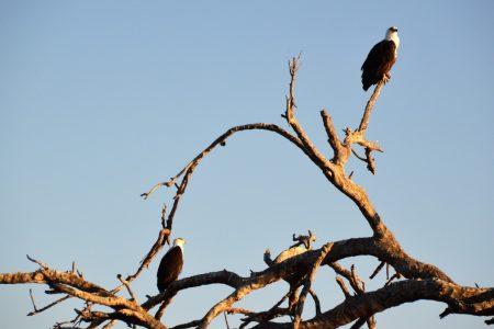Fish eagles Lake Kariba
