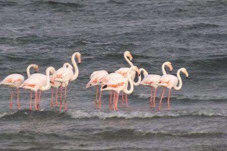 Flamingos of Namibia