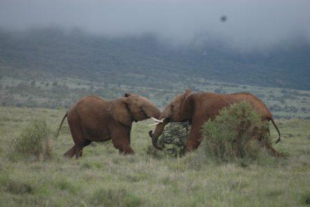 Flighting Elephant – Lewa