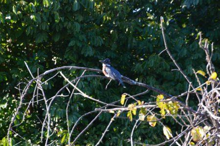 Giant kingfisher Lower Zambezi