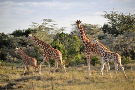 Giraffe Laikipia Plateau