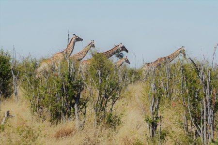 Giraffe Makgadikgadi Pans