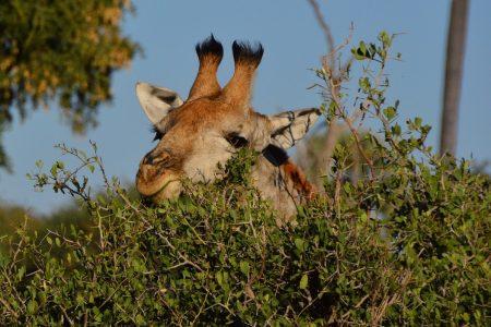 Giraffe peeping Makgadi kgadi
