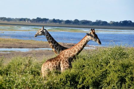 Safari Club - Giraffe Savuti Marsh