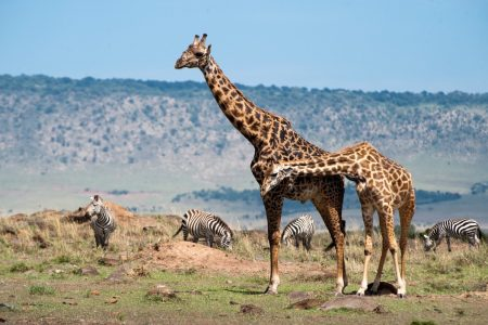 Giraffes and Zebra in the Maasai Mara