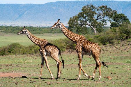 Giraffes in the Maasai Mara