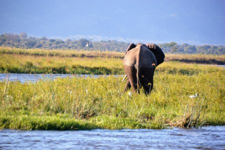 Grazing elephant near Ruckomechi Camp